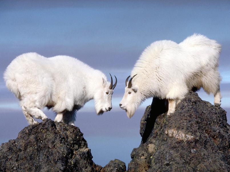 https://movementduets.files.wordpress.com/2015/02/mountain_goats_wallpaper_01.jpg?w=806&h=605